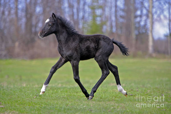 Photograph - Black Welsh Mountain Pony by Rolf Kopfle