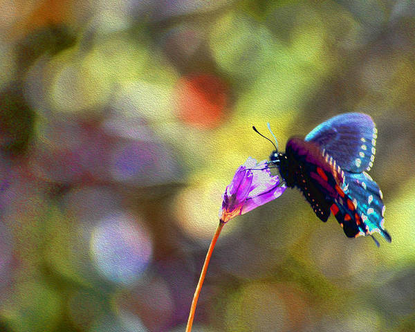 Photograph - Black Willowtail Butterfly by William Havle