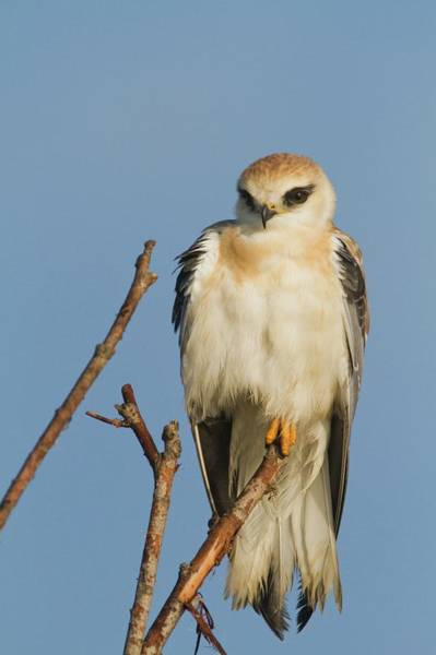 Black Kite Photograph - Black-winged Kite (elanus Caeruleus) by Photostock-israel