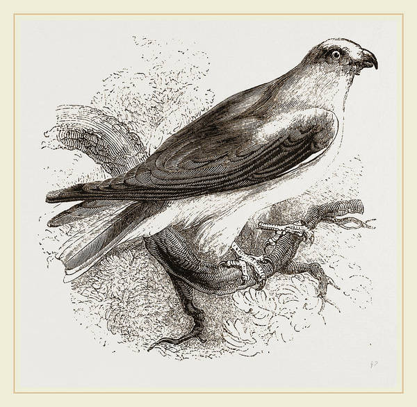 Hawk Drawing - Black-winged Swallow Hawk by Litz Collection