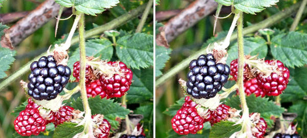 Photograph - Blackberries In Stereo by Duane McCullough