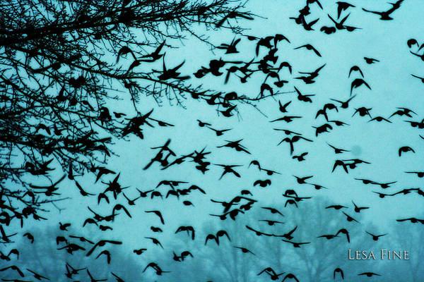 Photograph - Blackbird Flock by Lesa Fine