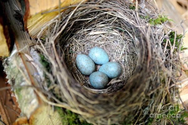 Reiner Photograph - Blackbird Nest With Eggs by Reiner Bernhardt