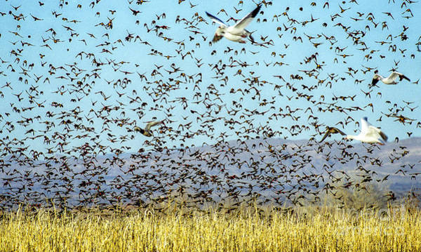 Red-winged Blackbirds Photograph - Blackbirds And Geese by Steven Ralser
