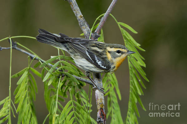 Parulidae Photograph - Blackburnian Warbler by Anthony Mercieca