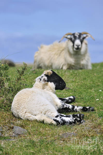 Photograph - Blackface Sheep 2 by Arterra Picture Library