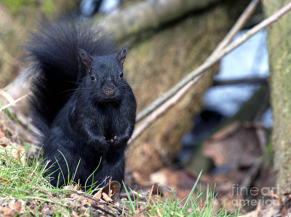 Grey Squirrel Photograph - Blackie by Sharon Talson