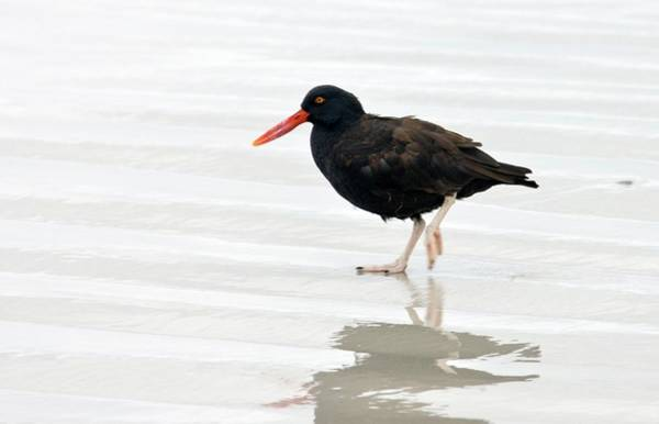 Wall Art - Photograph - Blackish Oystercatcher by Steve Allen/science Photo Library