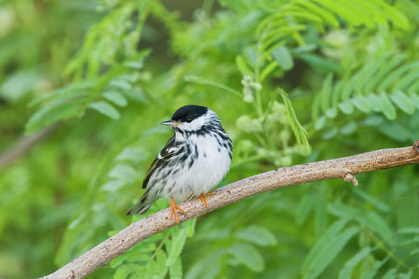 Wall Art - Photograph - Blackpol Warbler (dendroica Striata by Larry Ditto