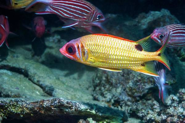 Ichthyology Wall Art - Photograph - Blackspot Squirrelfish On A Reef by Georgette Douwma