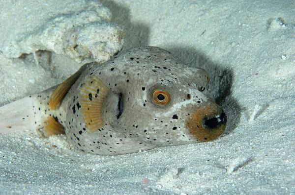 The Maldives Photograph - Blackspotted Pufferfish by Scubazoo/science Photo Library