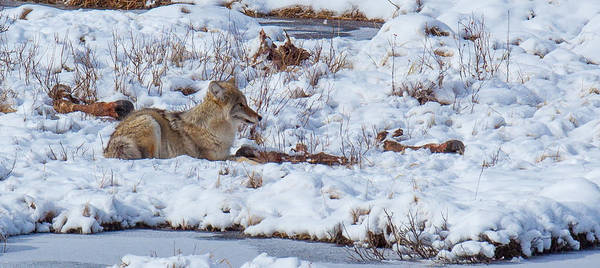 Photograph - Blacktail Coyote by Kevin  Dietrich