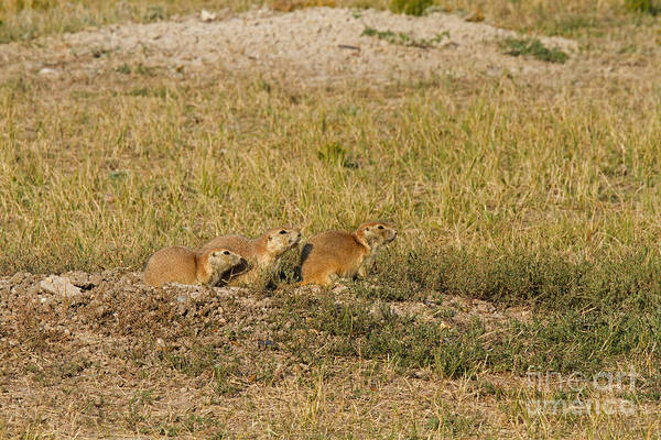 Photograph - Blacktail Prairie Dogs In Roberts Prairie Dog Town by Fred Stearns