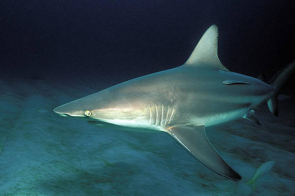 Wall Art - Photograph - Blacktip Shark by Clay Coleman/science Photo Library