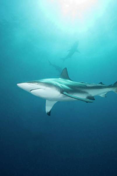 Carcharhinidae Photograph - Blacktip Shark by Scubazoo/science Photo Library