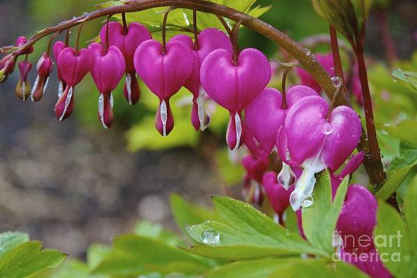 Photograph - Bleeding Heart by Amazing Jules