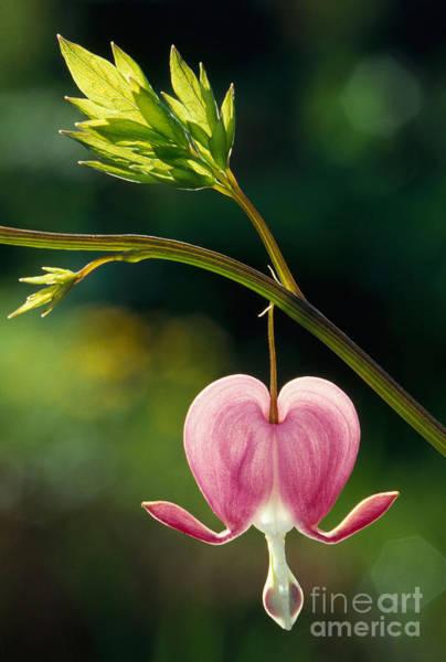 Photograph - Bleeding Heart Flower by Herbert Kehrer