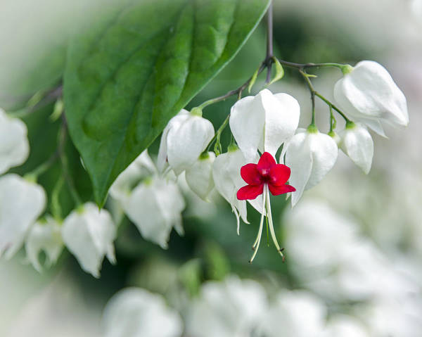 Photograph - Bleeding Heart Red by Carolyn Marshall