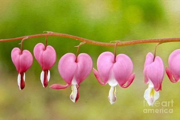 Photograph - Bleeding Hearts by Karin Pinkham