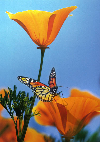 Orange Butterfly Digital Art - Blessed By The Sun by Evie Cook