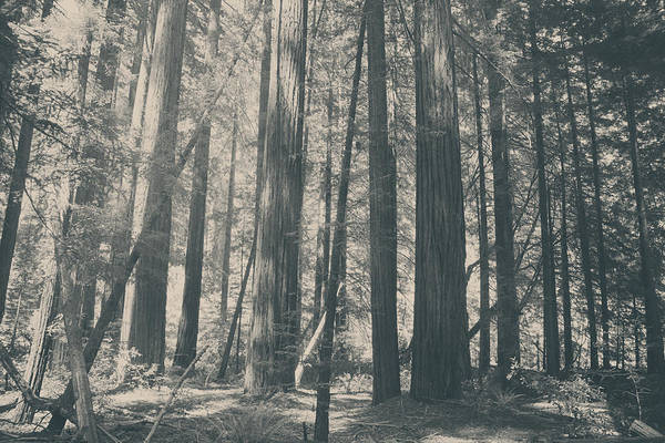 Redwoods Photograph - Blessings by Laurie Search