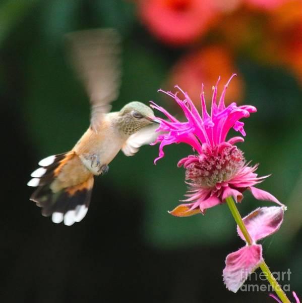 Broad-tailed Hummingbird Photograph - Blissful Spirits by Angela Koehler