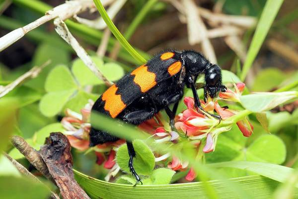 Zoological Photograph - Blister Beetle by Pan Xunbin