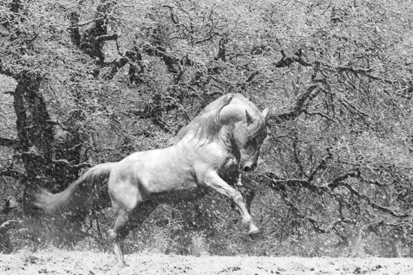 Photograph - Blizzard Stallion by Wes and Dotty Weber