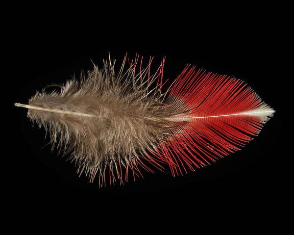 Wall Art - Mixed Media - Blood Pheasant by Chris Maynard