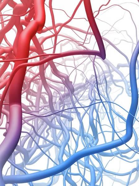 Artery Wall Art - Photograph - Blood Vessels by Maurizio De Angelis