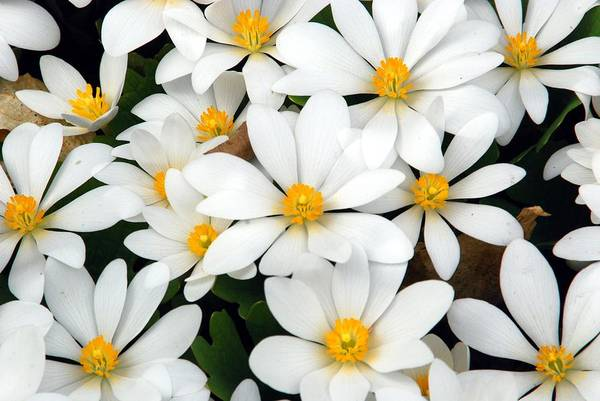 Photograph - Bloodroot Blooms by Cascade Colors