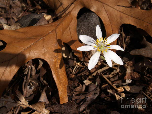 Wall Art - Photograph - Bloodroot On Forest Floor - Pennsylvania by Anna Lisa Yoder
