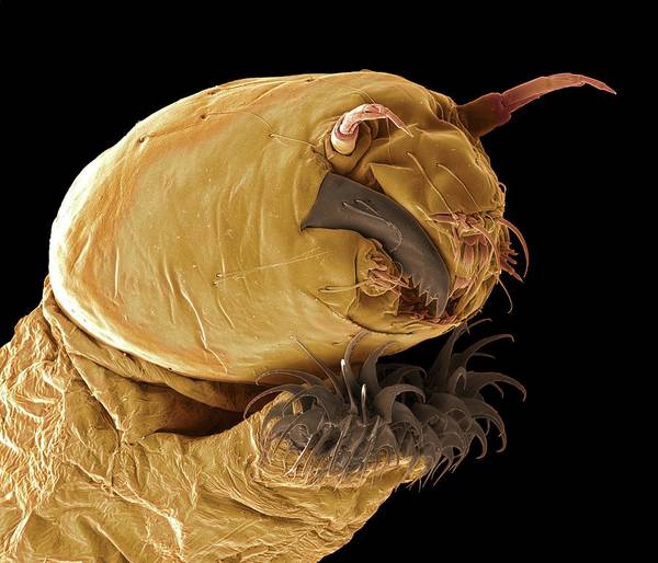 Midge Photograph - Bloodworm Head by Steve Gschmeissner