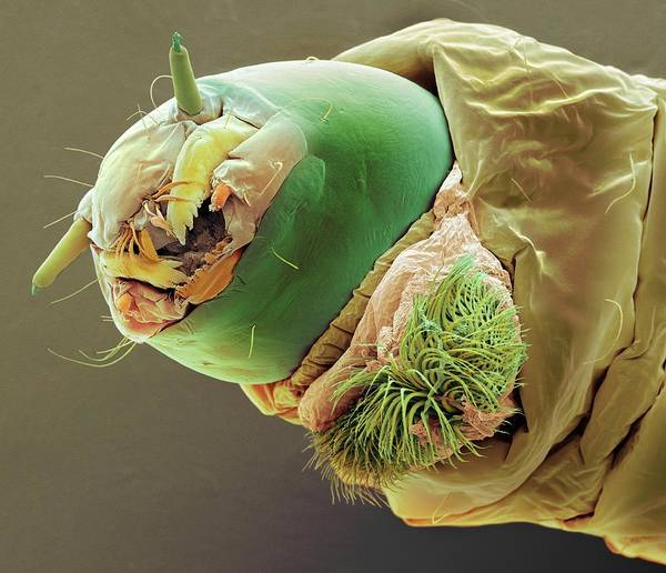 Midge Photograph - Bloodworm by Steve Gschmeissner/science Photo Library