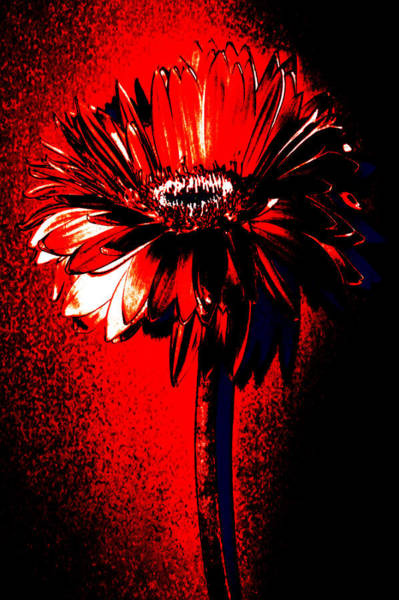 Tequila Sunrise Photograph - Bloody Mary Zinnia by Sherry Allen