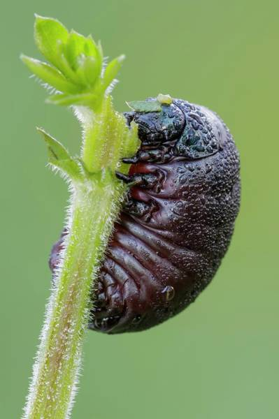 Coleoptera Photograph - Bloody Nosed Beetle by Heath Mcdonald