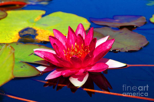 Photograph - Blooming Lily by Diana Raquel Sainz