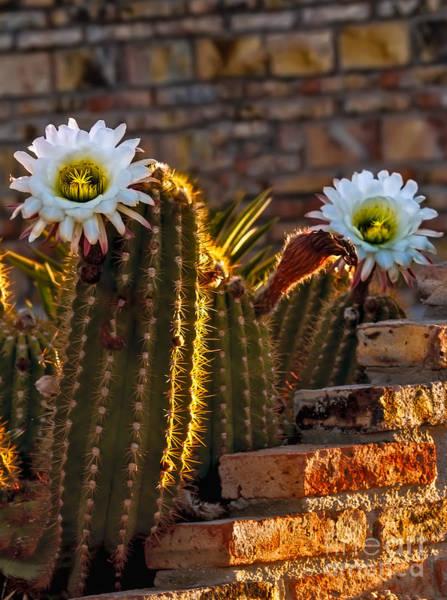 Haybale Wall Art - Photograph - Blooming Cactus by Robert Bales