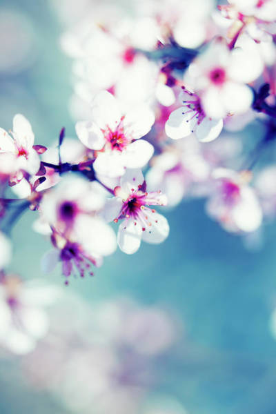 Season Photograph - Blooming Cherry Tree by Pawel.gaul