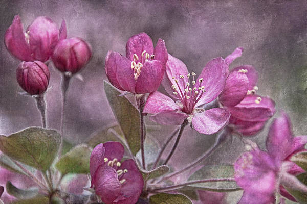 Photograph - Blooming Crabapple  by Theo O'Connor