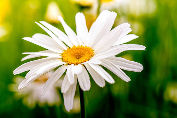 Photograph - Blooming Daisy by Teri Virbickis
