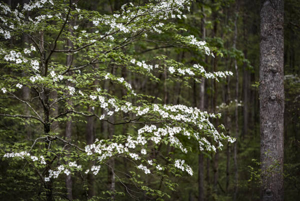 The Great Smoky Mountains Wall Art - Photograph - Blooming Dogwood Tree In Smokey Mountains by Eduard Moldoveanu
