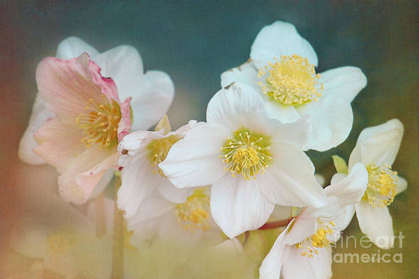 Photograph - Blooming In Winter by Jutta Maria Pusl