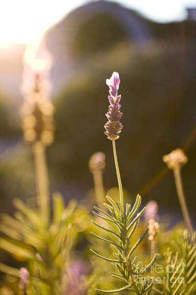 Photograph - Blooming Lavender by Charmian Vistaunet