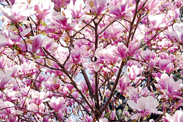 Wall Art - Photograph - Blooming Magnolia by Elena Elisseeva