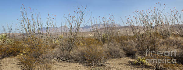 Chisos Mountains Photograph - Blooming Ocotillo In Desert by Greg Dimijian