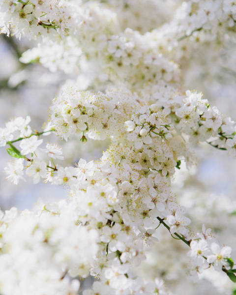 Season Photograph - Blooming Ornamental Cherry Trees. White by Mint Images - Paul Edmondson