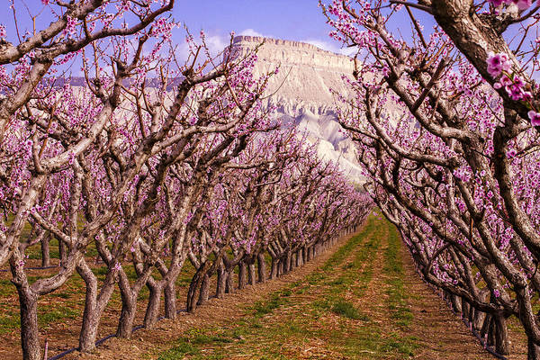 Photograph - Blooming Peach Orchards In Palisades Co by Teri Virbickis