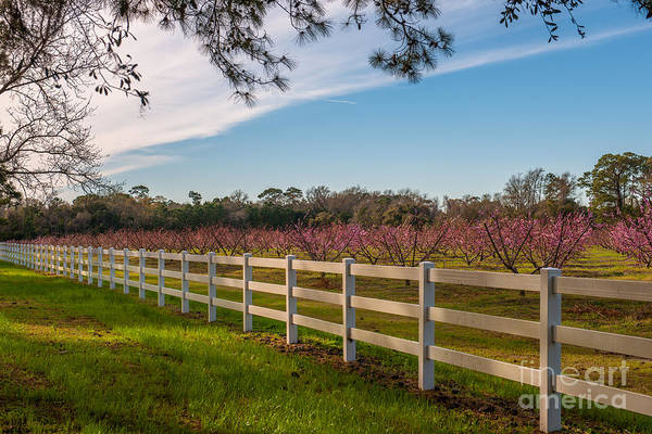 Photograph - Blooming Peach Tree's At Boone Hall by Dale Powell