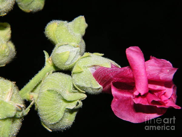 Photograph - Blooming Pink Hollyhock by Ann E Robson